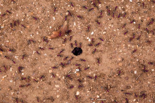 south-australia-ants