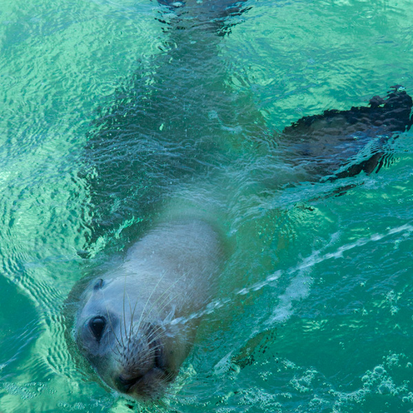 baird-bay-south-australia_sea-lion-swimming