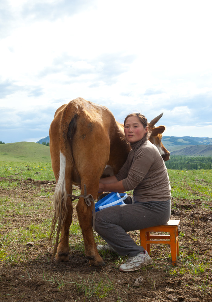 milking-cow-mongolia