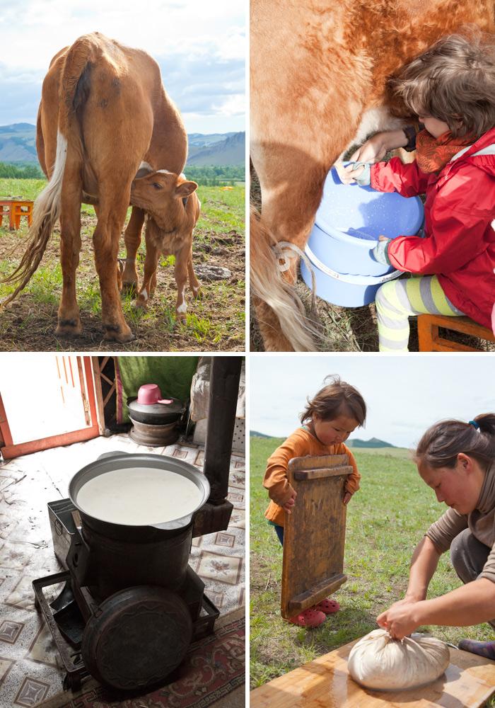 milking-cow-mongolia_2